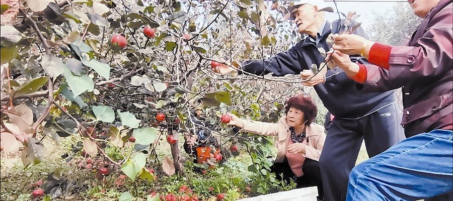 郭大姐和老年志愿者在爱心果园采摘苹果。李锋
